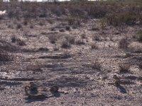 Kalahari - Gopher/Erdhörnchen 2013
