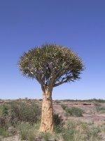 Augrabies - single tree 2013