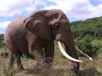 Addo - one Elephant 2013