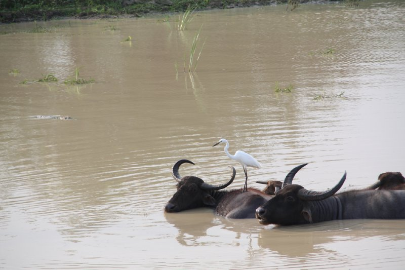 Yala National Park Buffalos and Bird
