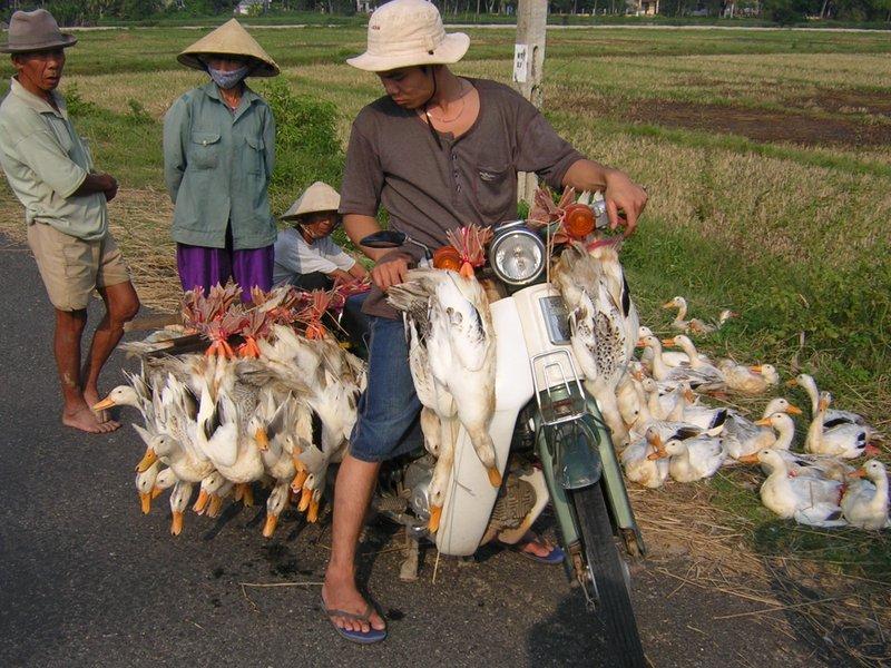 Ducks heading to Market