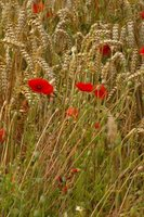 Flanders Fields where the poppies grow