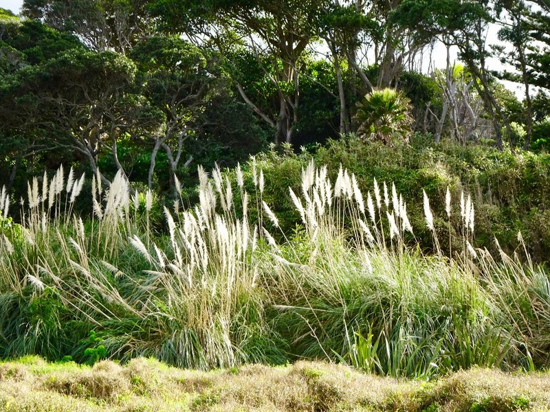 Toetoe grass is common all over NZ.