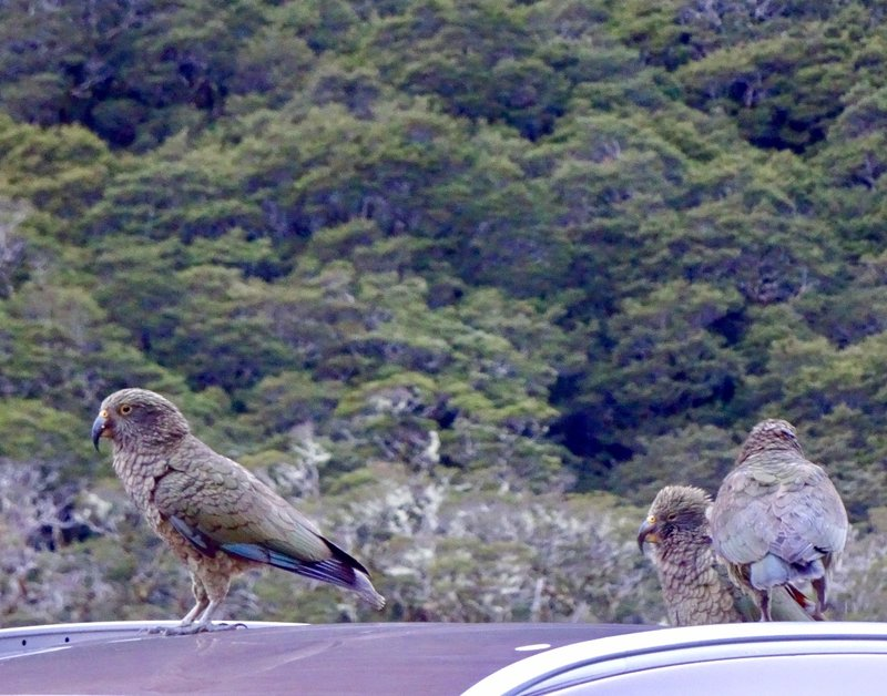 Initially, we were the only car at this  Mt Tutoko lookout. When we returned to our car, this trio of young keas were waiting for us. I know they can be destructive, but we found them delightful!! I'm not sure if any member of this trio was involved in an incident at  the Homer Tunnel (pictured below) that occurred in Nov of 2016, but I would like to think that they were! It seems that construction cones kept appearing in lanes of the road by the tunnel. Video cameras later revealed that the keas were moving the cones...often several cones...several times. I think they just wanted the cars to stop, remember they are very sociable and smart!