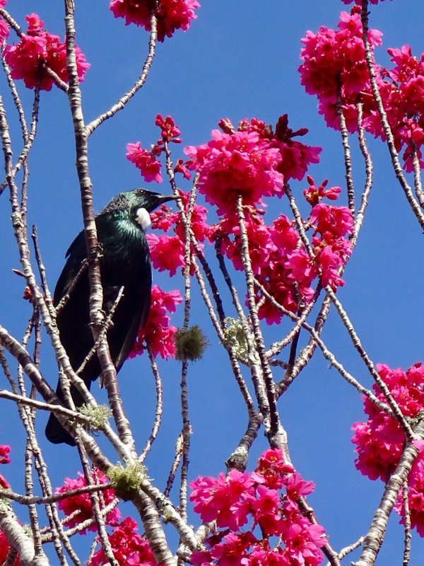 From a distance, the tui looks all black with a little white at the neck. Depending on the light, they are actually blue, green, and bronze; they have 2 white curls of feathers at the neck.