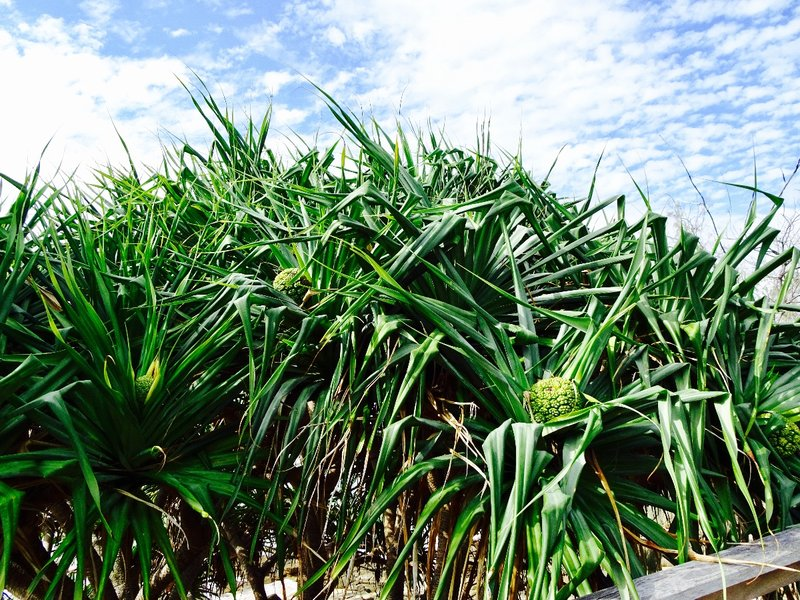 We started seeing this type of palm at the Sunshine Coast
