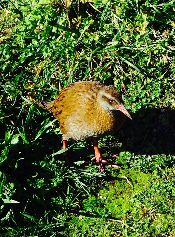 As we rested at one of the vistas along this walk, what should appear but this friendly hen. This is a weka (also known as a Māori hen); it is a flightless native bird of NZ.