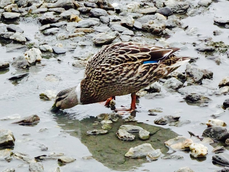 This is a NZ grey duck hybrid. After mallards were introduced here, there are few pure grey ducks left.