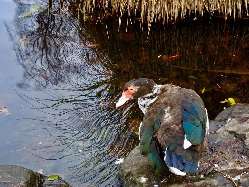 A male pied muscovy duck at the Queenstown Gardens.