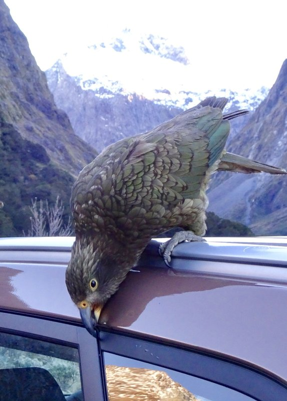Keas like being around people, stealing objects, and eating rubber. We thought this kea must be looking for bugs ( there were none), but a local told us that they frequently go after rubber. This is a juvenile kea, as it still has the bright yellow colouring around the eyes and nostrils (cere). As the kea get older, the yellow slowly disappears, and a dark colouration appears around the nostril and eyes.