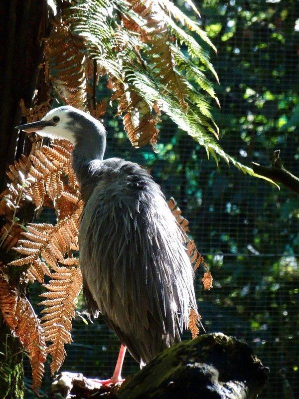 We saw this white-faced heron at the Otorohanga Native Bird Park.