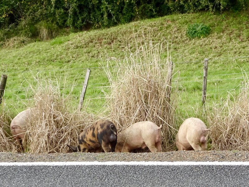 I included this photo because we have seen a lot of things along the road ( especially in AU), but this was our first encounter with pigs roaming wild.