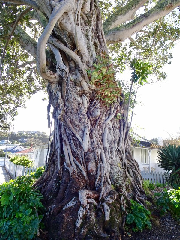 This Morton Bay Fig tree was planted by a customs keeper sometime between 1870 and 1886.