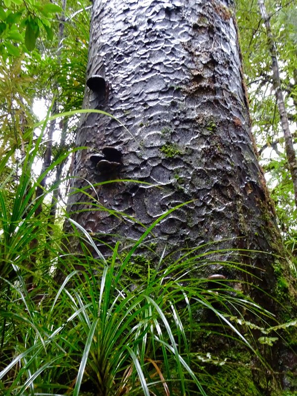 The bark on some of these Kauri trees is so pretty.