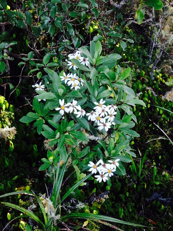 Kirk's Daisy is an example of a NZ shrub that is at risk/declining but it was re-introduced on the island.