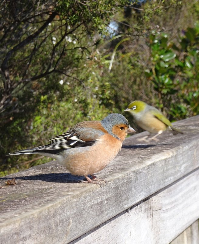 When I reached the summit of Rangitoto, I had several feathered friends. Evidently they have grown used to the visitors sitting on the benches here to have their lunch. While I was trying to get a picture of this chaffinch, a wax eye sneaked into the picture.