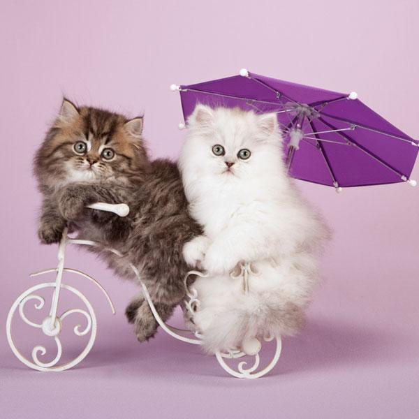 persian-kittens-01
