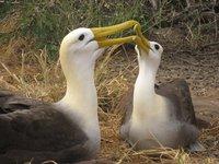 Galapagos - Mating ritual of waved albatrosses (Isla Española)
