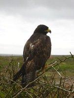 Galapagos - Galapagos hawk on Isla Española