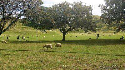 Sheep_and_..e_Tree_Hill.jpg