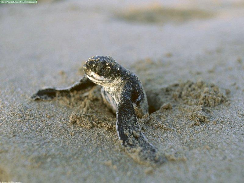 tortue-luth-bebe