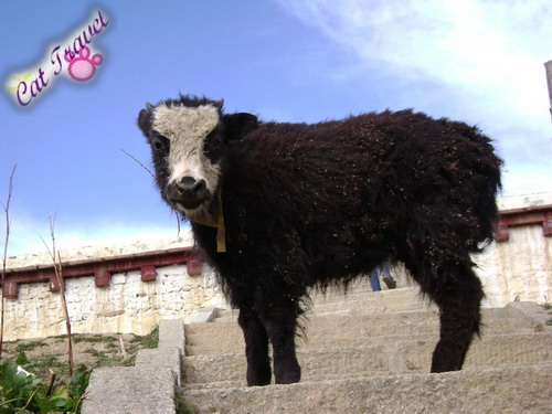 Shangri-la tour--Pretty little yak