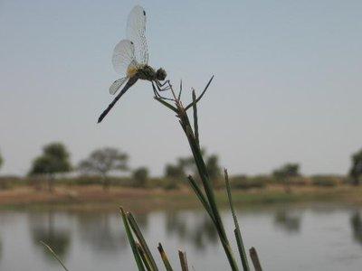 Jaisalmer_DragonFly