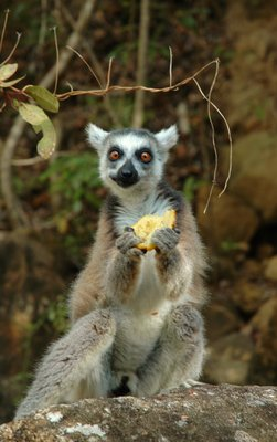 lemure affamato