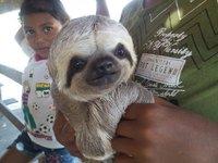 Xixuau sloth