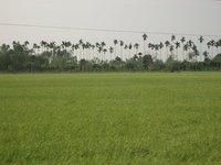 Across the padi fields
