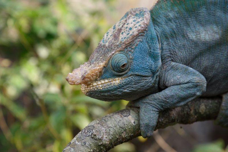 Parson's Chameleons