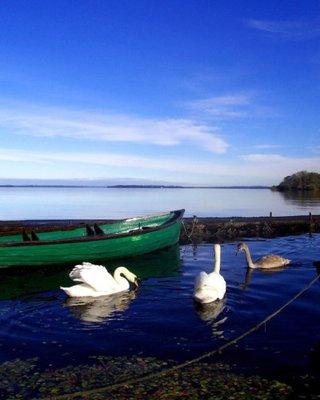 Swans at Athlone