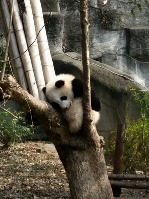 Panda géant se reposant dans un arbre
