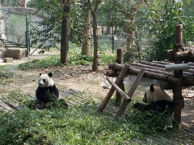 Les pandas géants mangent