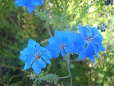 Blue Leschenaultia