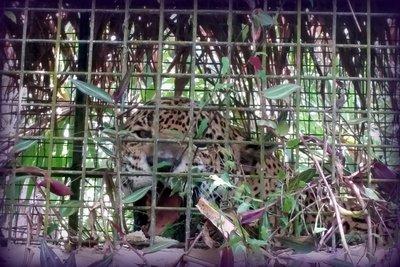 219_Belize_-_Jaguar.jpg