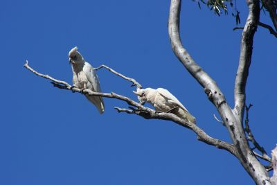 274399367663724-Cockatoos_at.._Perenjori.jpg