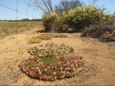 3099871-Perenjori_Wreath_Flower_Perenjori.jpg