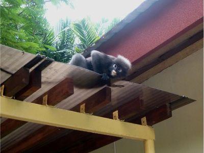 351381016279158-Monkey_at_Mu..u_Langkawi.jpg