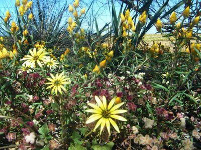 4234043-Perenjori_wildflowers_Perenjori.jpg