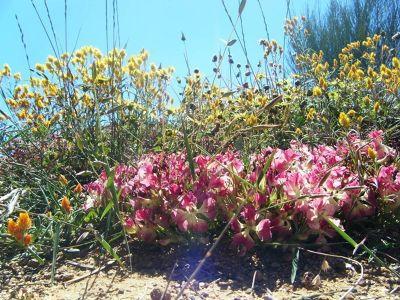 4234045-Perenjori_wreat_flower_Perenjori.jpg