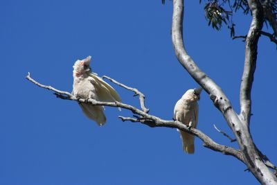 432060267663725-Cockatoos_at.._Perenjori.jpg