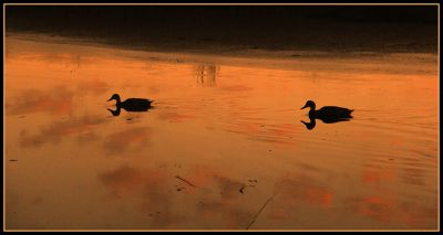 5519257478693-Duck_reflect..se_Yanchep.jpg