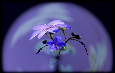 593721647687550-Blue_Wildflo.._aussirose.jpg