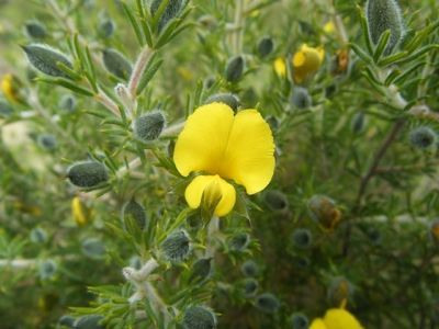 Hairy Yellow Pea