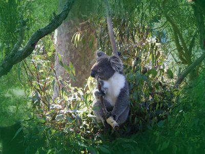 7697096-Spot_Kangaroos_and_Koalas_in_the_Wild.jpg