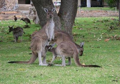 824045663556929-Kangaroos_at..se_Yanchep.jpg