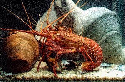 901579-Geraldton_lobster_Yum_Yum_o_Geraldton.jpg