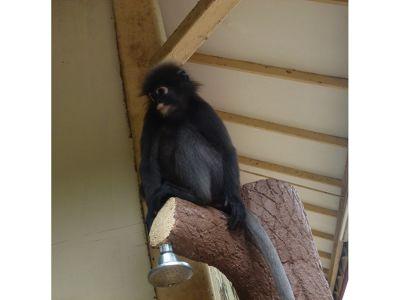 97467356279153-Monkey_at_Mu..u_Langkawi.jpg