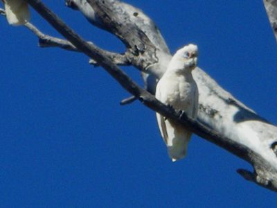 98913817663713-Cockatoos_at.._Perenjori.jpg